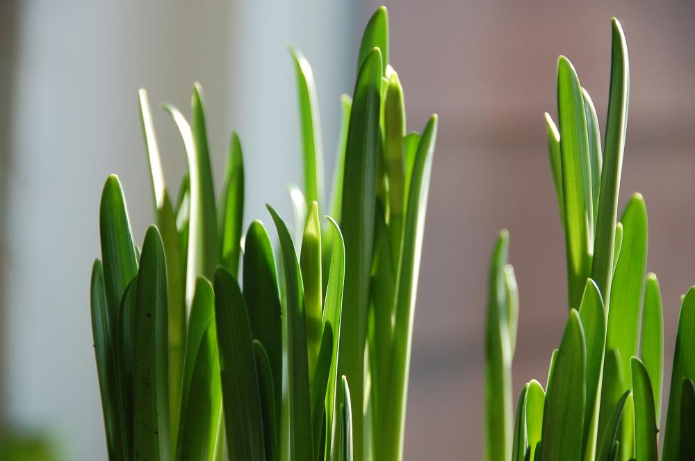 påskeliljer1